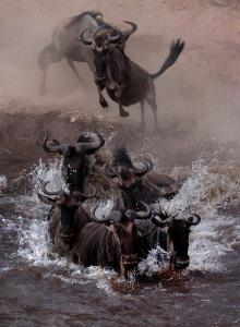 IUP Honor Mention - Sergey Agapov (Russian Federation)  The Great Migration Of Wildebeest