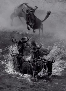 Temasek Photo Circuit Merit Award - Sergey Agapov (Russian Federation) <br /> Great Migration Wildebeest 2