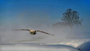 Temasek Photo Circuit Merit Award - Daniel Lybaert (Netherlands)  Aanvliegende Uil