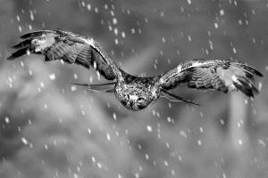 Temasek Photo Circuit Silver Medal - Kam Chiu Tam (Canada)  Hunting In Snow