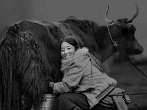 Temasek Photo Circuit Merit Award - Daxue Guan (China)  Milking 2