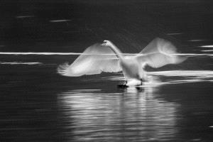 Temasek Photo Circuit Merit Award - Aleksander Cufar (Slovenia) <br /> Swan-Z333
