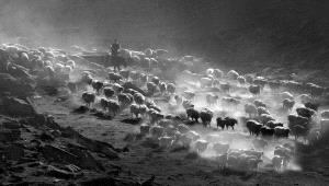 Temasek Photo Circuit Merit Award - Ping Li (China) <br /> Herding 4