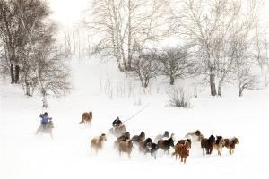 PSA HM Ribbons - Guoqun Wu (China)  Herd Horses