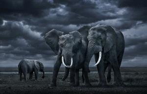 Temasek Photo Circuit Merit Award - Youshu Hu (China)  African Elephant