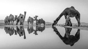 PhotoVivo HM - Jingsheng Nie (China)  Camel