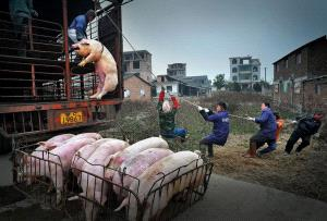 Temasek Photo Circuit Bronze Medal - Jingsheng Nie (China)  Pig Hanging