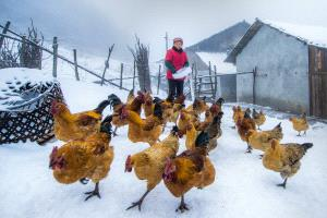 TPC Merit Award - Yong Xue (China)  Feeding In The Snow