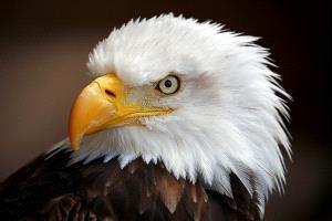 TPC Merit Award - Albert Peer (Austria)  American Eagle